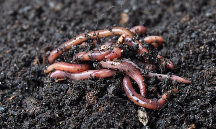 Cacing tanah. (Dok:net)