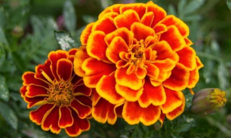 Ilustrasi Bunga Marigolds. (Dok:net)