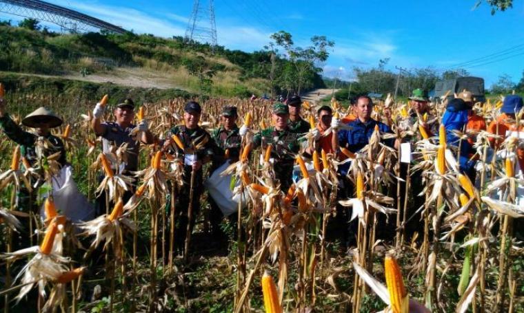 Sejumlah anggota dari Kodim 0603 dan jajaran dari Pemkab Lebak saat memanen jagung. (Foto: TitikNOL)