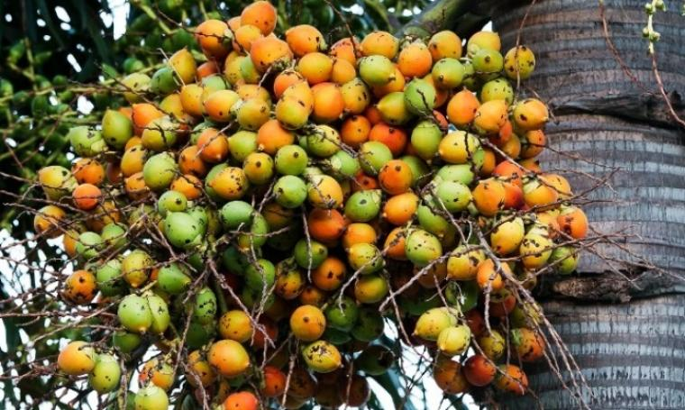Ilustrasi buah pinang. (Dok: gampongcotbaroh)