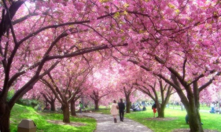 Tak Hanya Di Jepang Puncak Pun Miliki Ratusan Koleksi Bunga Sakura