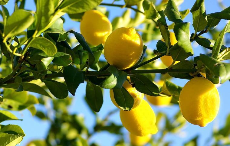 Ilustrasi buah lemon. (Dok: urban-studios)