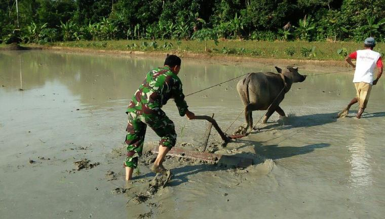 Serda Supriatna, Babinsa Jagabaya, Kecamatan Warunggunung, Kabupaten Lebak tengah membantu membajak sawah milik petani di desa binaannya. (Foto: TitikNOL)