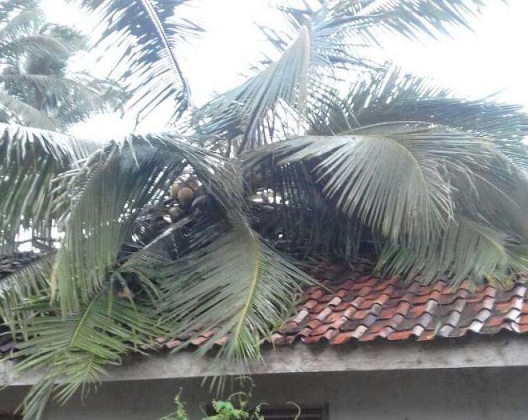 Angin kencang merobohkan satu pohon kelapa dan menimpa rumah Maman warga Kampung Hamberang, Desa Luhurjaya, Kecamatan Cipanas. (Foto: TitikNOL)