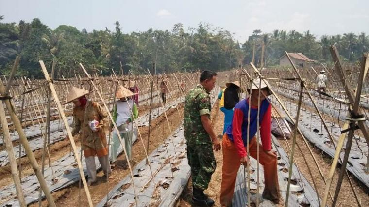 Serda Supriatna Babinsa Desa Padasuka, Kecamatan Warunggunung, Lebak - Banten dampingi kelompok tani tanam kacang panjang di lahan seluas dua hektar. (Foto: TitikNOL)