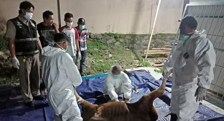 Suasana pemotongan bersyarat satu ekor sapi yang positif CFT oleh BKP Kelas II Cilegon. (Foto: TitikNOL)