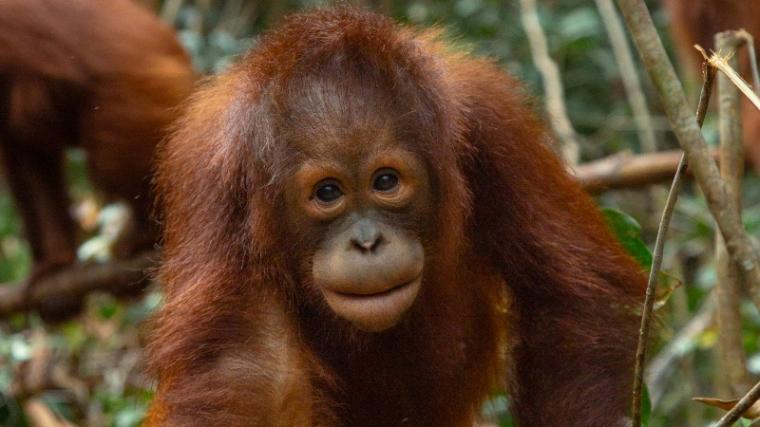 Orangutan. (Dok: Redapes)