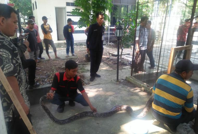 Ular sanca kembang yang ditemukan petugas kebersihan di Pendopo Gubernur Banten. (Foto: TitikNOL)