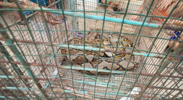 Ular Phtyon yang ditangkap Tegal Asem, Kecamatan Cipocok Jaya, Kota Serang. (Foto: TitikNOL)