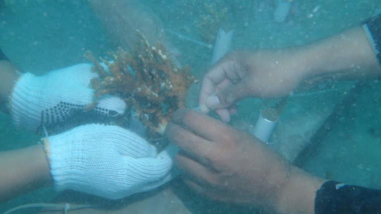 Proses transplantasi terumbu karang di Perairan Pulau Sangiang. (Foto: TitikNOL)