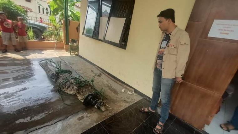 Buaya muara yang ditangkap petugas Balai Konservasi Sumber Daya Alam (BKSDA) Klas I Serang di Kampung Ciparay, Desa Cinangka, Kabupaten Serang. (Foto: TitikNOL)