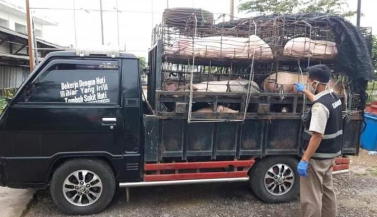 35 ekor babi yang diangkut dalam pick up diamankan Balai Karantina Pertanian Cilegon. (Istimewa).