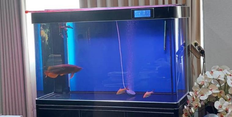 Aquarium dan ikan hias jenis arwana di ruang kerja Wali Kota Serang. (Foto: TitikNOL)
